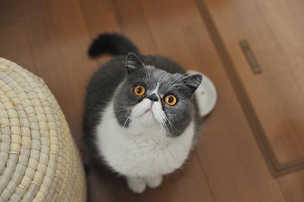 猫 チッチ エキゾ cocomiu