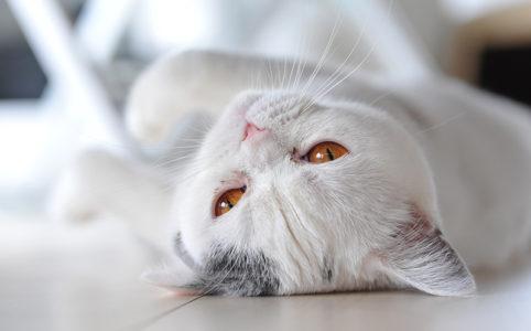 cocomiu 猫 cat
